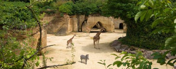 Bioparc doue la fontaine girafe